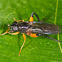 Unknown Fly - Chalcosyrphus vecors - female