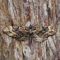 910343Eupithecia rotundopuncta - Eupithecia