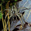 Dotted Wolf Spider - Rabidosa punctulata
