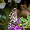Is this a Polyommatinid? - Echinargus isola