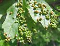 Maple Bladdergall Mite - Vasates quadripedes