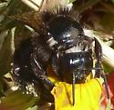 big black bee in Coyote Hills on 2018 July 11 - Bombus