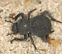 Darkling Beetle - Asbolus verrucosus
