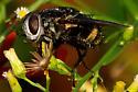 Bee mimic fly? - Belvosia