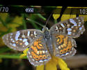 Unknown Crescent - Phyciodes picta