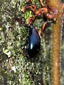 Chrysomelidae - Altica