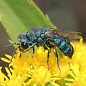 Chrysididae - - Parnopes - male