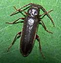 Arhopalus foveicollis
