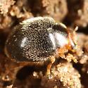 Little black fuzzy beetle