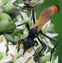 Ammophila pictipennis