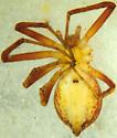 P. rodecki female - Philodromus rodecki - female