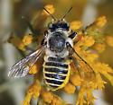 Leaf-cutter? - Megachile