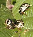Calligraphy beetle - ignota? - Calligrapha ignota