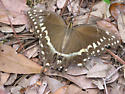 Palamedes Swallowtail (Papilio palamedes) ? - Papilio palamedes