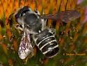 Leaf-Cutting Bee - Megachile pugnata