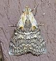 Double-humped Pococera - Pococera expandens