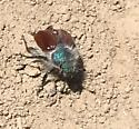 red / blue bug - Paracotalpa