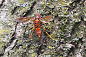 Red flying insect with stinger - Tremex columba - female