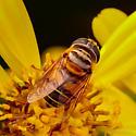 Family Syrphidae - Syrphid Flies - Palpada vinetorum