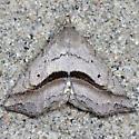 Lost Owlet - Hodges#8491 - Ledaea perditalis
