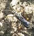 Blue Bug - Sphex nudus