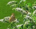Gray Buckeye Butterfly - Junonia coenia