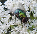 Blow Fly - Lucilia - male
