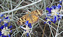 Unknown Butterfly - Phyciodes tharos - female