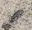 Tiger beetle, 12:40pm - Cicindela duodecimguttata