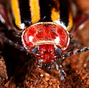 Coleoptera - Disonycha admirabila