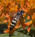Scoliid Wasp - Dielis plumipes - male