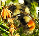 Is this a b. Melanopygus? - Bombus melanopygus