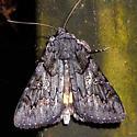 underwing - Catocala antinympha