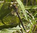 Brown Darner from late Summer - Aeshna umbrosa - female