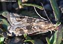 Brown-spotted Tan Moth - Nomophila nearctica