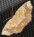 Un identified Moth - Nematocampa resistaria
