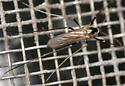 canopy tree-hole mosquito - Ochlerotatus hendersoni - female