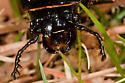 Large Black Beetle - Odontotaenius disjunctus