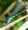 Pine Barrens Bluet - Enallagma recurvatum - male