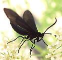 moth - Harrisina coracina