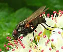 Unknown fly species? - Hydrophoria lancifer