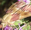 Bleeding Flower Moth - Schinia sanguinea