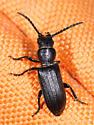 Beetle pandemonium - Neospondylis upiformis