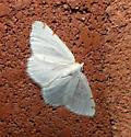Macaria pustularia - female