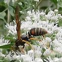 Wasp on Boneset - Polistes fuscatus