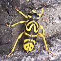 Alpine insect from summit of Algonquin Peak, 5112 feet - Glycobius speciosus