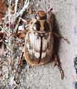 Exomala orientalis (Oriental Beetle) - Exomala orientalis