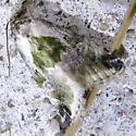 moth 5 - Maliattha synochitis