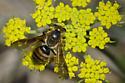 Mining Bee - Andrena prunorum