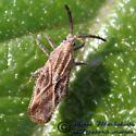 Lantana Lace Bug - Teleonemia scrupulosa